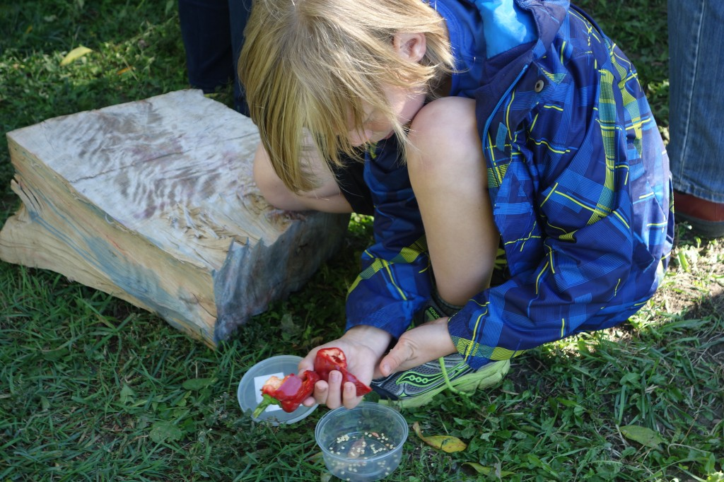 Elementary student intent on extracting pepper seed